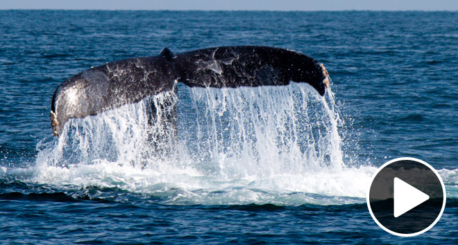 Why are blue whales so big?
